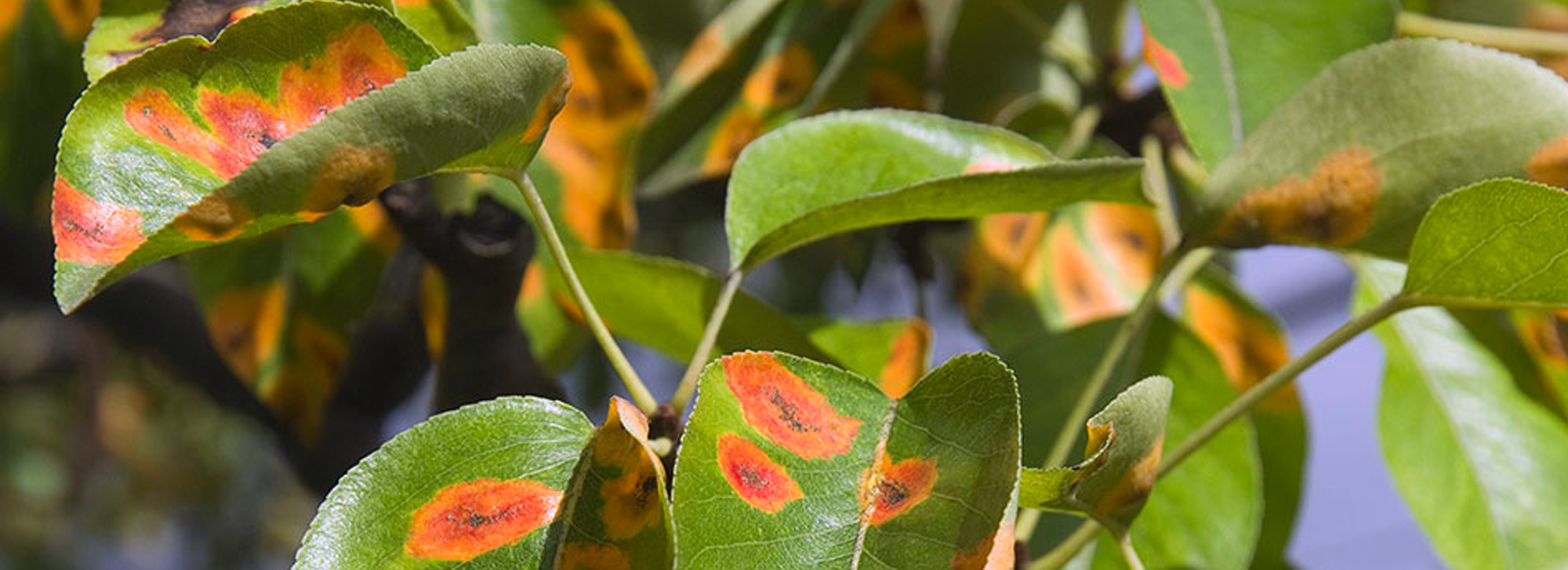 Garden Pests and Diseases