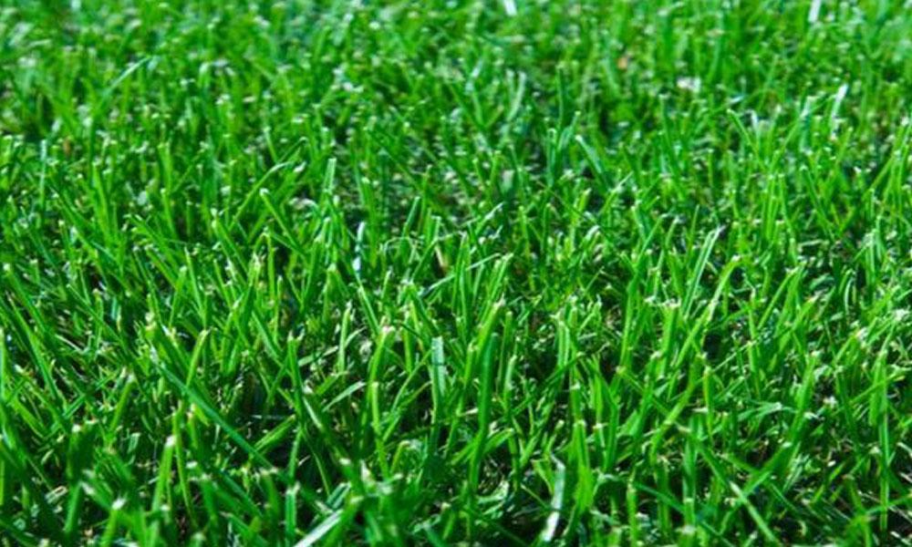 Sir Walter Buffalo Lawn Turfs 6