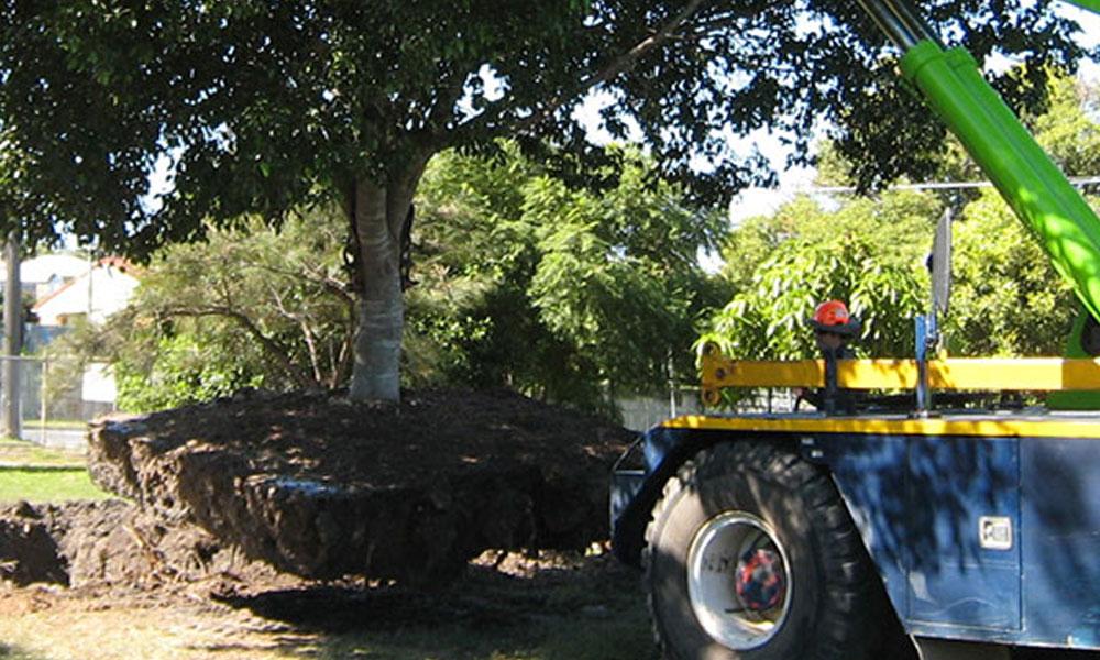 Tree Transplanting 5