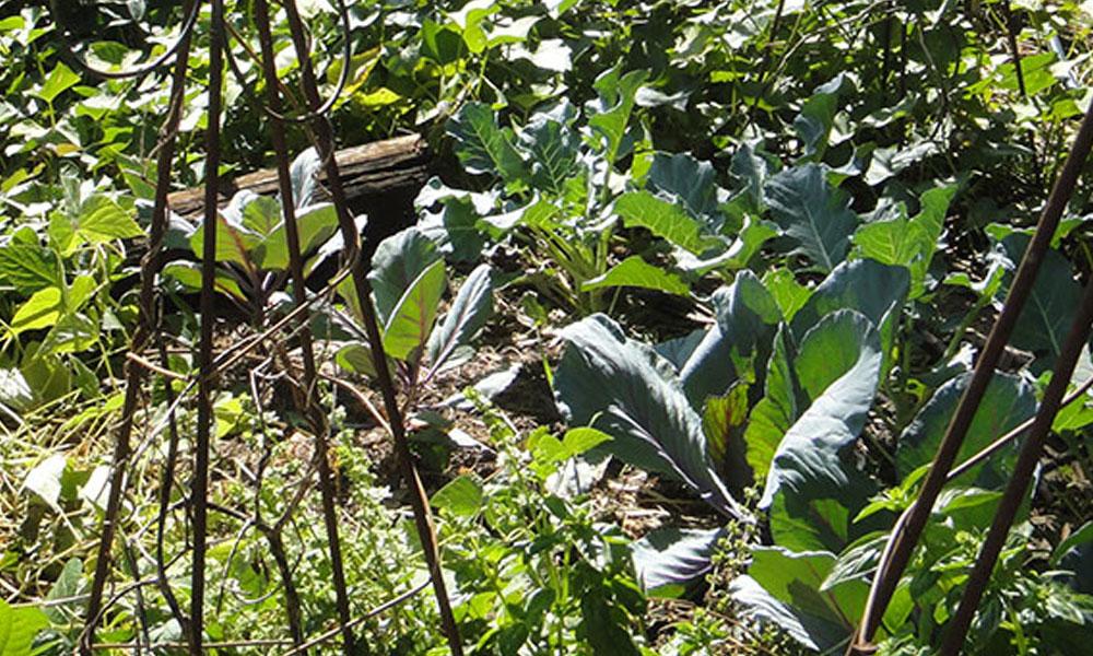 Vegetable Gardens 1